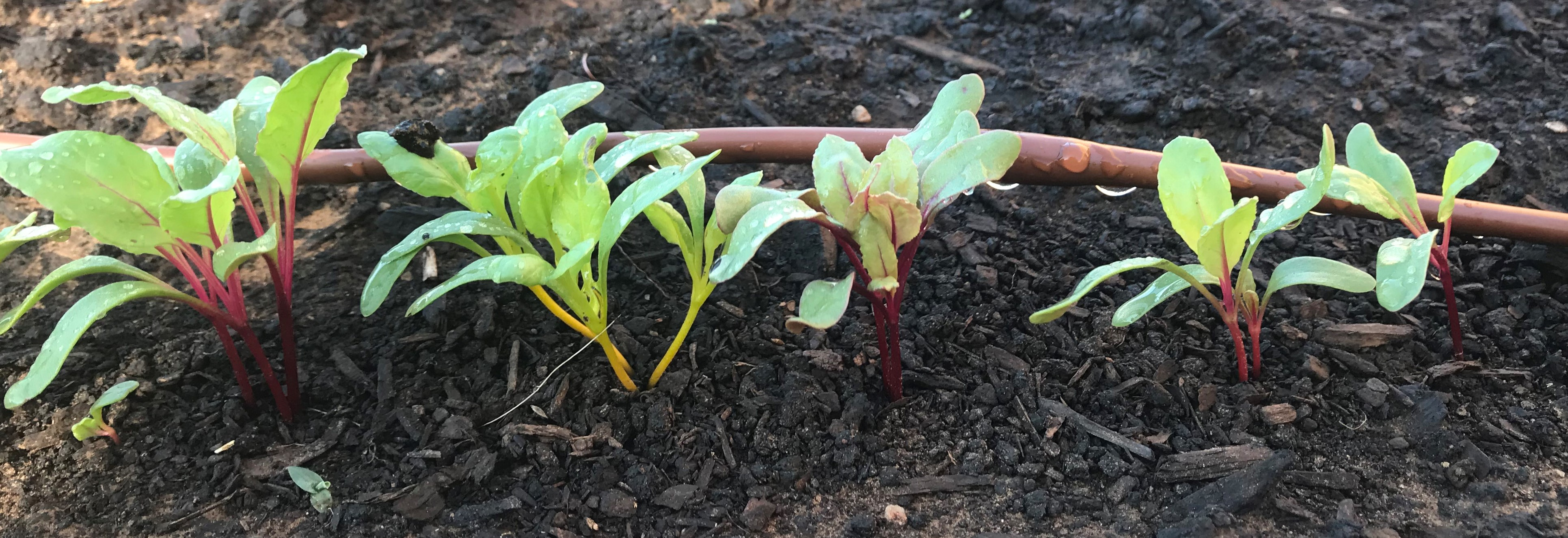 Cool seson seedlings emerge at Bodine Elementary School Garden - Beets!